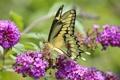 Картинка цветы, бабочка, насекомое, мотылек, соцветие