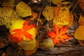 Картинка листья, осень, цвет, природа, клен