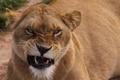 Картинка кошка, взгляд, морда, львица
