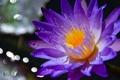 Картинка капли, цветок, лепестки, роса