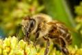 Картинка зелень, цветок, пчела, насекомое, боке