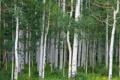 Картинка лес, трава, деревья, цветы, ствол, роща, осина