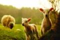 Картинка овцы, овечки, овечка, овца