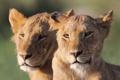 Картинка морда, кошки, пара, львы, львята