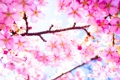 Картинка дерево, ветка, весна, сакура, цветение