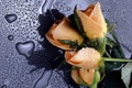 Картинка капли, розы, стекло, вода, макро
