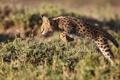 Картинка прыжок, Африка, Кения, Сервал, Leptailurus serval, кустарниковая кошк