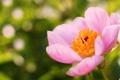 Картинка розовый, цветок, лето, пион, фокус
