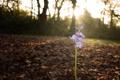 Картинка Цветок, колокольчик, flower, Bluebell