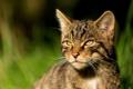 Картинка дикая кошка, глаза, морда, размытость, взгляд, The Scottish Wildcat, Шотландская