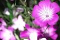 Картинка цветы, природа, лепестки, сад, клумба