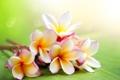 Картинка экзотика, плюмерия, frangipani, красный жасмин