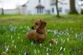 Картинка поле, цветы, собака