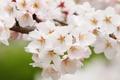 Картинка природа, весна, сакура