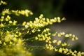 Картинка желтые, ветки, полевые, цветы