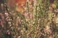 Картинка вереск, лето, цветение, цвета, стебли, растения, природа
