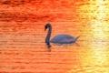 Картинка закат, озеро, лебедь
