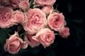 Картинка капли, розы, букет, лепестки