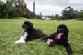 Картинка животные, собаки, пара, USA, animals, Washington, dogs