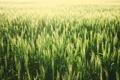 Картинка поле, колоски, зеленые, незрелые