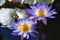 Картинка нимфея, дуэт, водяная лилия