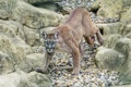 Картинка кошка, камни, пума, горный лев, кугуар, ©Tambako The Jaguar
