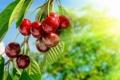 Картинка cherry, черешня, вишня, sweet, ветка, berries