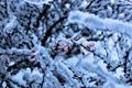 Картинка зима, лёд, ягоды