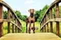 Картинка собаки, взгляд, мост, Mogi Hondenfotografie