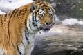 Картинка язык, ©Tambako The Jaguar, амурский тигр, тигр, взгляд, кошка