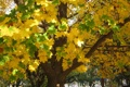 Картинка листва., листья, осень, деревья, жёлтый