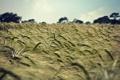 Картинка поле, пейзаж, природа, колосья