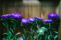 Картинка цветы, лепестки, астры