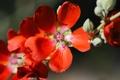 Картинка красные, лепестки, ветка, макро, цветы