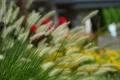 Картинка трава, размытость, колоски, пушистые