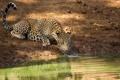 Картинка язык, дикая кошка, морда, хищник, леопард, водопой