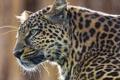 Картинка усы, морда, хищник, леопард, leopard, panthera pardus