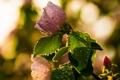 Картинка природа, фон, розы