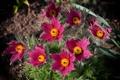 Картинка Цветок, flower, Прострел, Kuhschelle