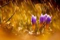 Картинка цветы, природа, дождь