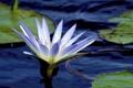 Картинка цветок, листья, кувшинка, водоем