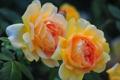 Картинка макро, розы, лепестки, дуэт, бутоны