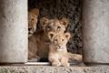Картинка кошка, лев, детёныш, львы, львёнок