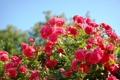 Картинка лето, куст, розы, красота, розовые, алые
