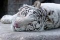 Картинка кошка, взгляд, морда, белый тигр