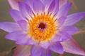 Картинка цветок, лотос, серединка