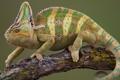 Картинка хамелеон, ветка, чешуя