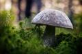 Картинка зелень, гриб, Боровик