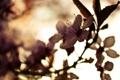 Картинка цветок, макро, цветы, природа, вишня, растение, фокус