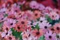 Картинка цветы, хризантемы, много, разные